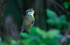 / Rufous-winged Fulvetta / Pseudominla castaneceps (bambusabird) Tags: birds animals forest thailand nikon rainforest wildlife tropical chiangmai oriental doiinthanon fulvetta bambusabird