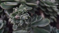 Echeveria (RoushVilla) Tags: flowers plants plant flower verde green nature photography photo spring pattern natura vegetable villa leonardo fiori fiore piante pianta vegetale echeveria roush francavilla ikneema roushvilla