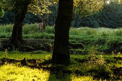 Green and a deer! (Metalhund) Tags: deer denmark goldenlight nature holbk sunset