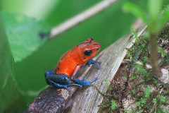Mr. Blue Jeans (Kevin English Photography) Tags: blue red orange costa america forest strawberry little central rica frog jeans poison dart humid poisonous oophagapumilio