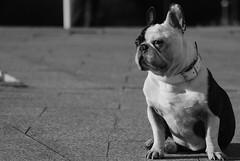 Roko (AiNaRa) Tags: bw french bulldog perro