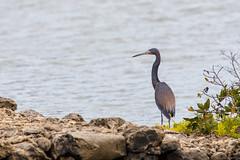 Heron (Egretta Tricolor ?) (caropho) Tags: jankok curaao heron reiher egretta wildlife bird caribbean animal nature canon eos