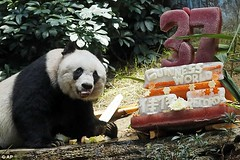 same age as the world's oldest panda! (domit) Tags: panda world oldest 37 birthday