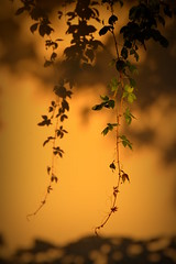 Twins (JavierAndrs) Tags: sunset shadow plant planta leaves wall hojas atardecer pared nikon warm branch twin vine sombra hang rama gemelo enredadera clido colgar natureplus flickraward