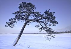 Artic Tree (Ian Mountford) Tags: lake snow tree ice canon finland ian inari 5d artic mountford nellim