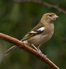 Strumpshaw Green Finch (Geographyman) Tags: bird nature branch wildlife rspb strumpshawfen canon70300mml