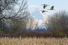 Mt. Hood, Oregon (Gary Grossman) Tags: oregon portland landscape northwest wildlife scenic cranes mthood pacificnorthwest hood sandhill sauvieisland sandhillcrane naturephotography sauvie landscapephotography mygearandme