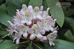 Rosebay Rhododendron (Carol Sadler Photography) Tags: flower rhododendron photocontesttnc12 rosebayrhododendrom