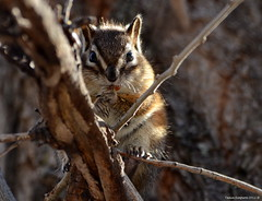 Yellow-pine Chipmunk (Tamias amoenus) (Photography Through Tania's Eyes) Tags: canada tree nature animal fauna fur photography photo pom flora nikon photographer bc image britishcolumbia okanagan wildlife branches tail chipmunk photograph summerland okanaganvalley yellowpinechipmunk tamiasamoenus copyrightimage okanaganlakeprovincialpark nikond7000 taniasimpson amazingwildlifephotography allofnatureswildlifelevel1