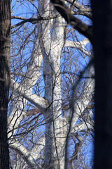 IMG_3710 Sycamore Through the Trees, Ohio, USA (ForestPath) Tags: blue winter ohio sky sun sunlight white forest woodland grey woods cincinnati branches pale sycamore trunk through between creekside tamron70300 thechallengefactory trilliumtrails