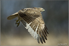 "Red-Tailed Hawk (20120313-0541) (Earl Reinink) Tags: ontario canada bird art nature birds photography landscapes nikon hawk flight canadian niagara earl bif ""bird ""nikon ""niagara photography"" ""birds ""nature ontario"" ""landscape ""fine ""earl peninsula"" flight"" lenses"" hawk"" ""redtailed d3"" ""hawk d3s"" reinink"""