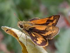 Greenish Grass-dart (Boobook48) Tags: butterfly greenishgrassdart ocybadisteswalkeri skipper victoria australia taxonomy:binomial=ocybadisteswalkeri lepidoptera geo:country=australia