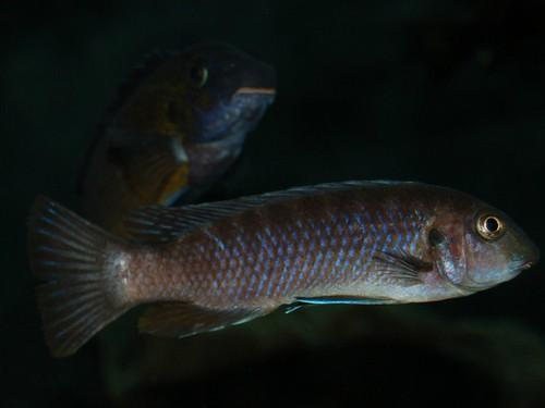 Labeotropheus trewavasae Chiofu Bay