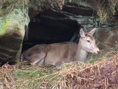 Taking Shelter (Derbyshire Harrier) Tags: wild derbyshire hind reddeer barbrook bigmoor easternmoors