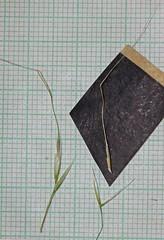 2011.07.27_00.27.19_IMG_4363 (AndreyZharkikh) Tags: columbiana stipa nelsonii achnatherum