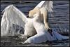 Swan Lake - The Battle for Supremacy (dralun10) Tags: swans muteswans fightingswans llanelliwetlands mygearandme mygearandmepremium mygearandmebronze peregrino27life allofnatureswildlifelevel1 allofnatureswildlifelevel2 allofnatureswildlifelevel3
