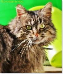 Hello !!! (Simply Viola) Tags: cats animals kittens felini gatti animali gattini catnipaddicts catscolours
