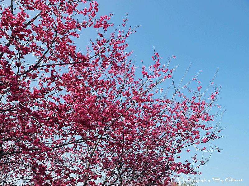 【櫻花】台中新社.櫻木花道(櫻花盛開)