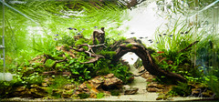 90x45x45cm planted dragon stone aquascape (Stu Worrall Photography) Tags: wood stone ada dragon tank stu aquascape planted manzi worrall stuworrall 90x45x45