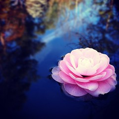 Pink (Bradley Nash Burgess) Tags: pink flower reflection gardens garden square botanical al birmingham pretty alabama squareformat botany botanicalgardens birminghamal iphone birminghambotanicalgardens iphoneography instagramapp xproii uploaded:by=instagram foursquare:venue=4b6cb84cf964a520ea4e2ce3