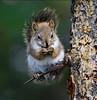 Red Squirrel (kdee64) Tags: food spring yukon whitehorse redsquirrel tamiasciurushudsonicus sprucetree northerncanada sprucecone
