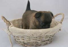 dog pup brusselsgriffon petitbrabancon