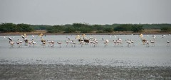 Little rann of kutch Pelicans and flamingos (Sapna Kapoor) Tags: india nature gujrat kutch rann littlerann