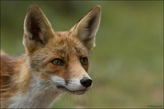 Portret of a female young fox ... (Alex Verweij) Tags: nature female canon natuur fox 7d vos vrouwtje vossen specanimal alexverweij