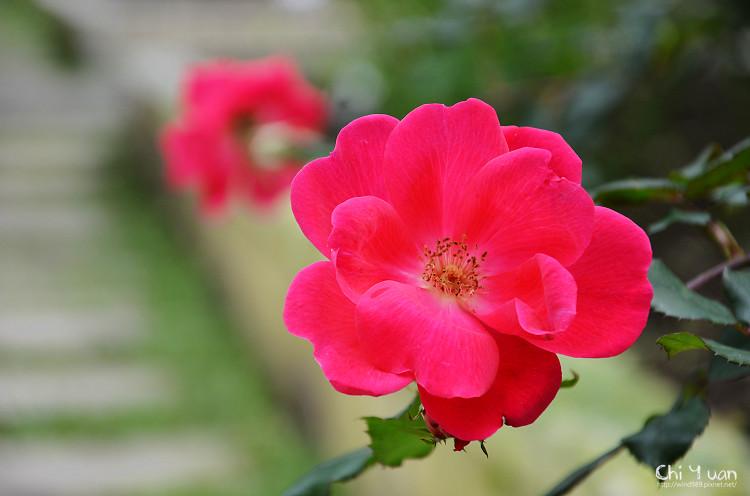 2012士林官邸玫瑰季28.jpg