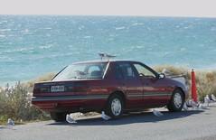 Captive (mikecogh) Tags: seagulls ford sedan coast waiting esplanade falcon hungry henleybeach
