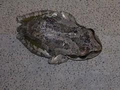 Froggy! (Kristen Koster) Tags: macro frog urbanwildlife iphone