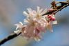 Pink blooming (STE) Tags: pink flowers primavera photography photo spring branch foto photographer photos rosa fotografia fiori ramo stefano fotografo trucco tamron90 zush persephonesgarden stefanotrucco