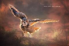 Eagle Owl  |    (KHALID ALSABT |   |) Tags: eagle owl |
