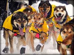 Happy, Happy, Happy, Happy!  - Iditarod Dogs (Luv Duck - Thanks for 15M Views!) Tags: alaska anchorage musher sleddogs iditarod colleenrobertia iditarod2012