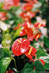 Anthurium (Marie l'autre) Tags: red flower green art film nature fleur analog 35mm catchycolors rouge 50mm bokeh vert 200iso analogue anthurium couleur argentique x700 fujicolor rokkor vintagephotography 700x marielautre olderbutnotold
