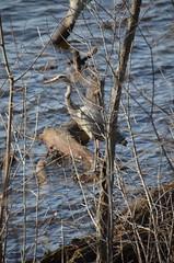 DSC_0222 (rlg) Tags: bird heron animal march tuesday 13 greatblueheron 2012 0313 ardeaherodias gbh fpr 201203 eastcove nikond5100 03132012 20120313