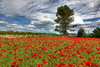 Happy May the 1st!!! (decar66) Tags: flowers red primavera clouds spring mediterranean poppies poppyfields redcarpet ontinyent amapolas amapola adormidera onteniente lavalldalbaida campodeamapolas salvabarbera