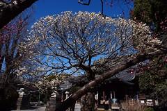 Japanese plum blossom (photoholic image) Tags: plant flower nature season temple spring buddhism bluesky buddhisttemple plumblossom japaneseplumblossom panfocusing olympuspenep3 mzuikodigital14150mmf456