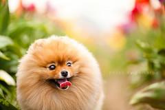 what's around the corner? (Pomaroo) Tags: dog flower cute field outside happy pom naturallight tulip curious pomeranian flint woodburn woodenshoetulipfestival