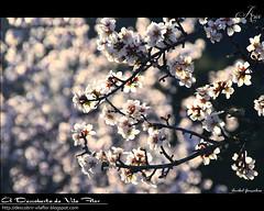 Flores de Amendoeira / almond blossom (Transmontano) Tags: portugal photoshop arvores bragança braganca vilaflor xoox transmontano ilustrarportugal addvf portugalmagico