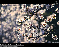 Flores de Amendoeira / almond blossom (Transmontano) Tags: portugal photoshop arvores bragana braganca vilaflor xoox transmontano ilustrarportugal addvf portugalmagico