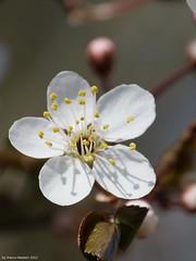 Macro - serie 4 foto (franco nadalin) Tags: primavera natura panasonic fiori piante petali colori friuli fz150 franconadalin