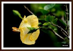 hibisco (Mandeandrade) Tags: folhas butterfly galinha natureza paisagem inseto borboleta hibisco araucária pintinhos hibiscoamarelo mandeandrade