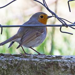 Robin (Erithacus rubecula) (Panayotis1) Tags: nature robin birds canon erithacusrubecula erithacus aves greece pro usm 300 animalia 400mm passeriformes kenko 14x chordata  muscicapidae canonef400mmf56lusm dgx imathia aggelochori     kenkopro300afdgx14x