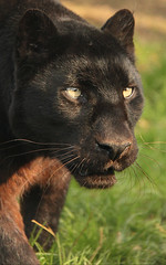 Black Leopard (TenPinPhil) Tags: black cat leopard bigcat 2012 canon500d 100400l blackleopard philipharris flickrbigcats tenpinphil