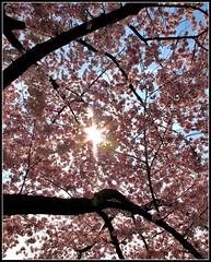 DC - Cherry blossom canopy - HSS! (karma (Karen)) Tags: trees washingtondc festivals cherryblossoms flares hss sliderssunday
