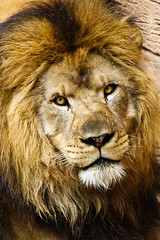 The King (John Jacobs) Tags: sc lion columbia riverbankszoo twtme beautifulcapture
