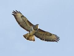 Buzzard_Robert Horne (Robert Horne Wildlife Photography) Tags: wales canon buzzard birdinflight buzzardinflight