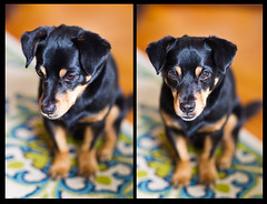 Bebo (Robert Windel) Tags: dog cute mix 85mmf12l blackandbrown minpinchihuahua canon1dmkiv