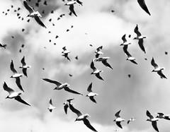 Bird pattern (Ulf Bodin) Tags: sky bird wings sweden gull uppsala sverige blackheadedgull canonef85mmf12liiusm svandammen uppsalalän canoneos5dmarkii
